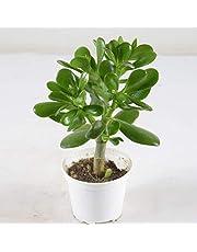 Pianta Grassa Crassula Ovata, Vaso 10cm