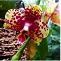 Hydroponic Orchid Seeds,indoor Flowers Bonsai Four…