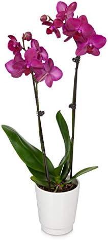 "Just Add Ice JAI242 Orchid Easy Care Live Plants, 5"" Diameter, Purple"