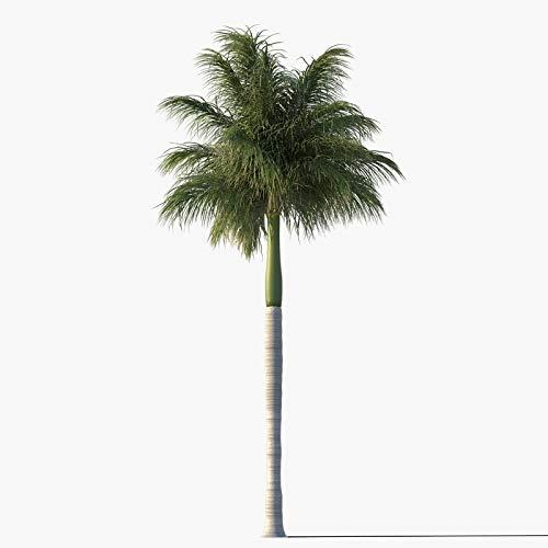 Royal Palm Tree Seeds, Roystonea Regia, aka Cuban/Florida Royal Palm, 20 Premium Quality Tree Seeds, Exotic Palm Tree, 80% Germination Rates, (Isla