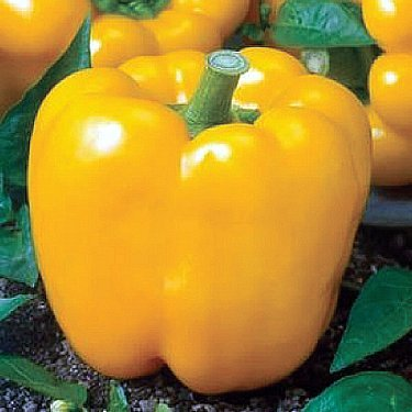 Sunbright Yellow Bell Pepper Seeds 150 Seeds By JaysseedsTM Upc 643451294866 +3 Free Plant Markers (Yellow Bell Tomato Seeds compare prices)