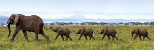 Elephants Linking Trunk Animal Photography Poster Print 12x36