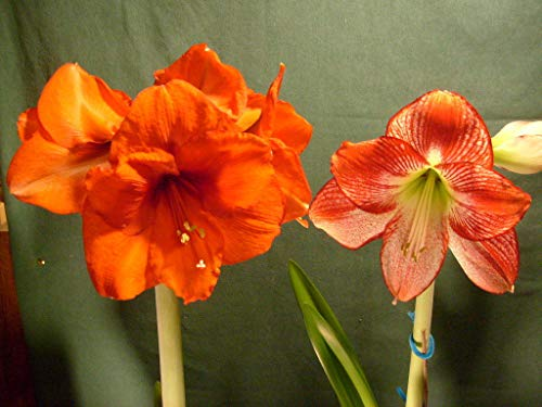 Cross pollinated Amaryllis Bulb Hippeastrum Sovereign X Flamenco Queen (Sovereign Queen)