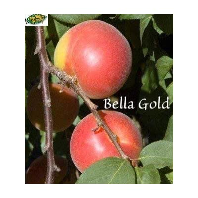 Bella Gold Peacotum Tree - 2 Year Old 4-5 Ft Tall - Bob Wells Nursery : Garden & Outdoor