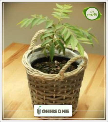 Pinkdose Curry Leaf Herb Culinary Herb Seeds for Outdoor Plant Seeds for Garden Pack Seed