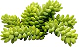 4 Healthy Sedum morganianum, Donkey Tail, Burro's Tail cuttings 3-4in each