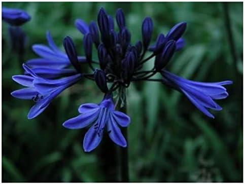 Hardy Agapanthus africanus Blue 4L Plant
