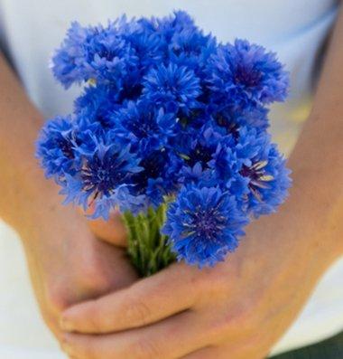 davids-garden-seeds-flower-centaurea-florist-blue-boy-d1017a-blue-100-heirlom-seeds