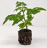 Pack of 6 Organic Cherry Tomato Plants