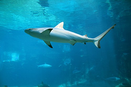 Home Comforts LAMINATED POSTER Black Reef Tip Shark Animals
