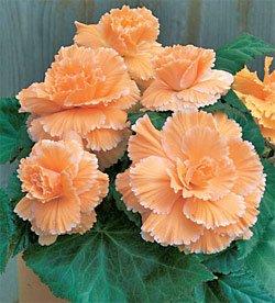 (6 Begonia - Picotee - Lace Apricot bulbs)