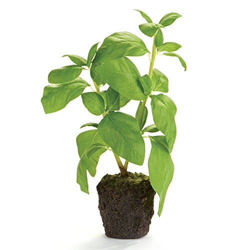 CONSERVATORY BASIL HERB DROP-IN 9-INCH