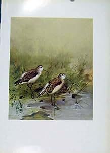 Pájaros Coloreados Impresión Vieja de la Lavandera C1957 del Pantano de la Bella Arte