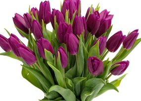 (10 Quality Tulip Bulbs - Passionale Purple - Freshly Imported from Holland)
