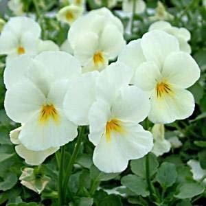 40 viola rocky white plug plants winter flowering amazon 40 viola rocky white plug plants winter flowering mightylinksfo