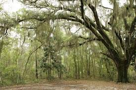 Fresh Spanish Moss (2.5 pounds) -