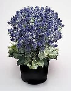 Eryngium (Sea Holly) planum Blue Hobbit 1,000 seeds