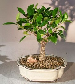 Bonsai Boy's Ficus Retusa Bonsai Tree - Medium Ficus - Bonsai Ficus Retusa Tree