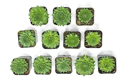 Fractal Succulents (20 Pack) Live Sempervivum Houseleek Succulent Rooted in Pots | Flowering Plant Leaves / Geometric Rosettes by Plants for Pets by Plants for Pets (Image #9)