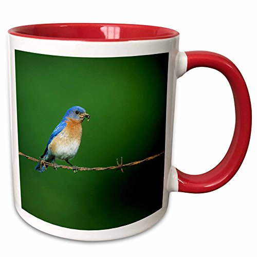 3drose-danita-delimont-bluebird-eastern-bluebird-male-on-barbed-wire-fence-with-food-illinois-11oz-t