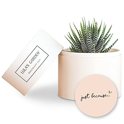 Live Succulent Zebra Garden Centerpiece and Just Because Gift Box - Perfect and Unique Gift for Wife, Mom, Friend, Co-workers, Boss or Teacher (Petite Zebra Garden, Just Because) by Lula's Garden