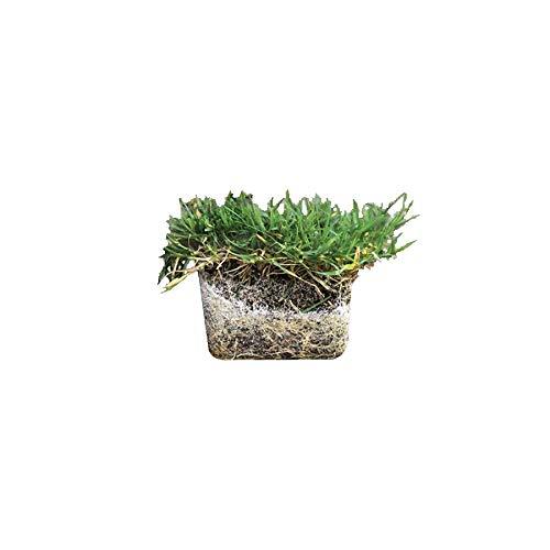 Zoysia Sod Plugs - Large 3'' x 3'' Plugs - 18 Count Tray - Drought, Salt & Shade Tolerant Turf Grass by Florida Foliage (Image #4)