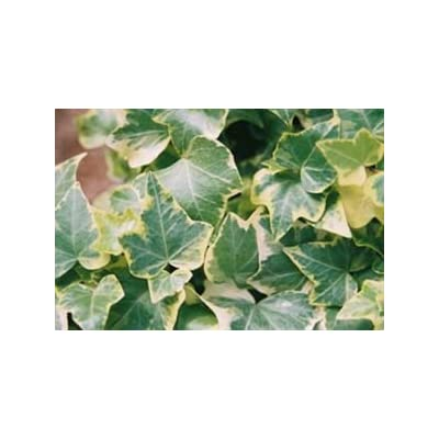 "(Flat of 10 Plants in 4"" Pots) Hedera Helix 'Ingelise' Ivy - Self-Branching, Green Edged in Thin Border of White, Good for topiaries, Small tri-lobed Leaf with Sharp Points. : Garden & Outdoor"