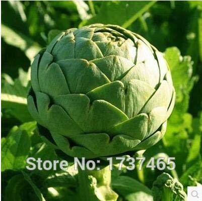 Go Garden Real 4pcs Globe Artichoke, Cynara cardunculus, Vegetable Potted Plants Home Garden ()