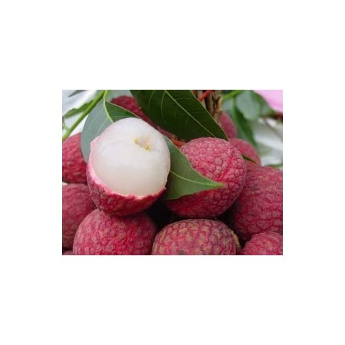 ! LOSS PROMOTION SALE! Fresh Lychee Lychy Litchi Seeds, Leechee Fruit Tree Seeds, 10 Litchi seeds,
