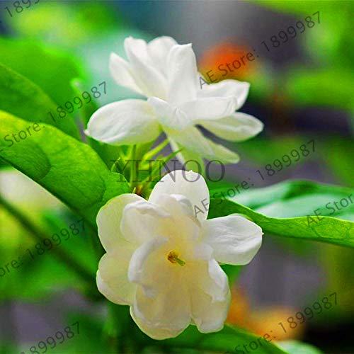 Capes Summer Perfume Mini Hot Sale!20pcs/Bag Arabian Jasmine Gardenia Flower Bonsai, Rare White and Fragrance, Cape Jasmine Flower Can be Used as a Medic (Gardenia Cape Jasmine)