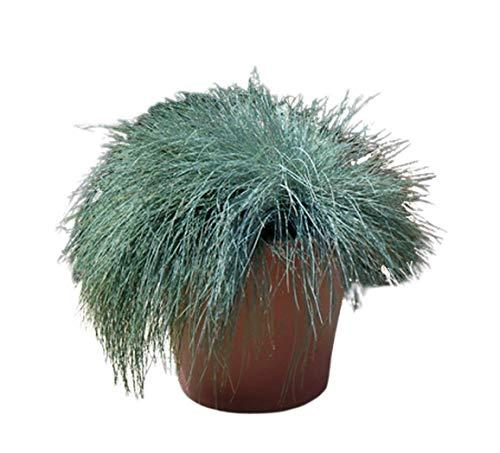 Blue Fescue 500 Seeds - Festuca Glauca Flowering Plant, Festuca Cinerea Glauca Varna Grass Seed, Beautiful Blue Green Perennial Grasses, Ornamental Grass Seeds for Planting