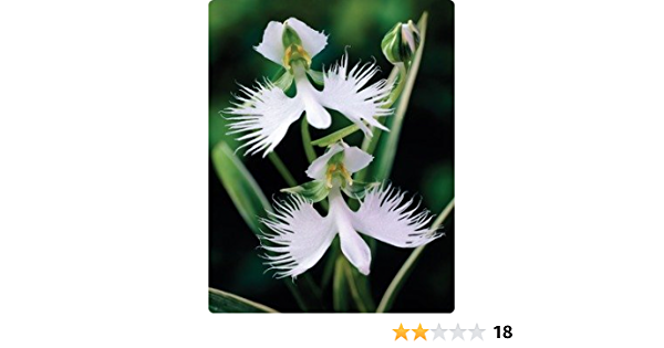 100 White Egret Orchid Seeds Heron orchid Habenaria radiata Garden Flower S069
