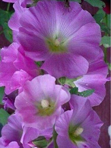 (Graines Rose Tremiere Violet)