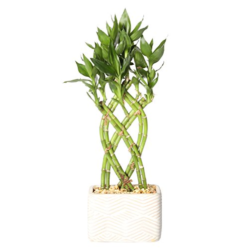 (Costa Farms Medium Lucky Bamboo Live Indoor Tabletop Plant in Modern Home Decor 5-Inch White Ceramic Planter)