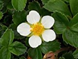 100 WHITE SOUL STRAWBERRY Fragaria Vesca Fruit Flower Berry Seeds *Comb S/H