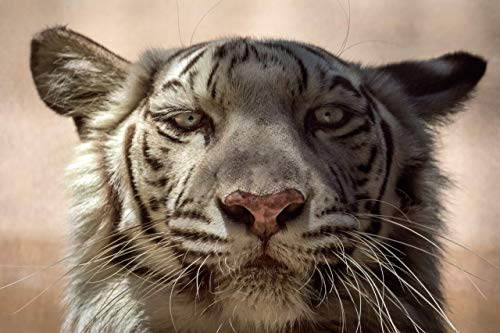 A O Tucker Artwork - 5 x 7 x 1.5 inch - White Tiger Close-up - Fine Art Photograph Mounted on a Petite Panel™ - Ready to Hang Nursery, Home & Office Decor