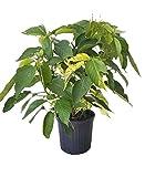 PlantVine Acalypha wilkesiana 'Java White', Copperleaf - Large - 8-10 Inch Pot (3 Gallon), Live Plant