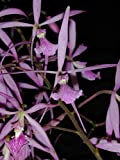 Andy`s Orchids - Encyclia adenocaula SSP.guadalupeae - Orchid Plant - Fragrant - Easy-Grower - Indigenous to Mexico