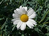 Home Comforts Marguerite Tree Daisy Argyranthemum Frutescens Vivid Imagery Laminated Poster Print 11 x 17