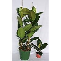 Ficus Robusta (70-90 cm (2 varas)) - Planta viva de interior