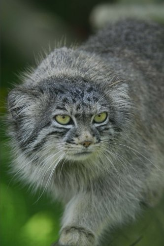 Pallas Cat (Pallas Cat Manul Journal: 150 Page Lined Notebook/Diary)