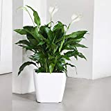 Vamsha Nature Care Live Peace Lily Spathiphyllum Plant Green Air Purifying indoor Plants