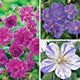 Cicitar Garden - Scented Rare Geranium Himalayense/Endressii/Canariense Mix, Ornamental Groundcover, Hardy Perennial Flower Seeds