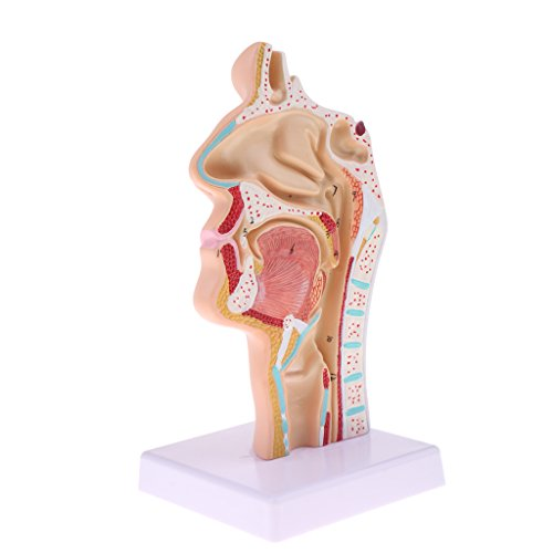 Perfk 人間鼻口腔モデル 喉頭咽頭模型 1:1スケール ヒト鼻口腔模型の商品画像