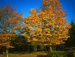 Amazoncom The Dirty Gardener Acer Macrophyllum Bigleaf Maple
