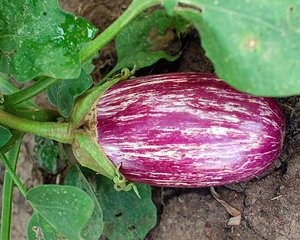 David's Garden Seeds Eggplant Listada De Gandia (Purple) 25 Organic Heirloom Seeds