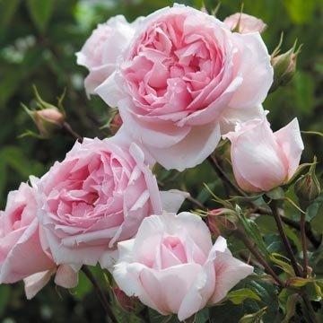 David Austin English Roses The Wedgwood Rose