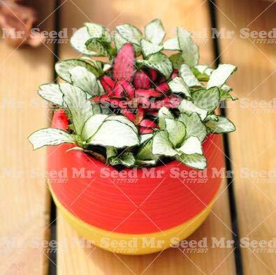 Pinkdose 100 unids Bonsai Chino Mezcla de Arco Iris Planta de ...
