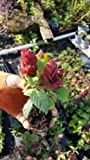 Justicia Brandegeana~Red Maroon Shrimp Plants Live Plants An002