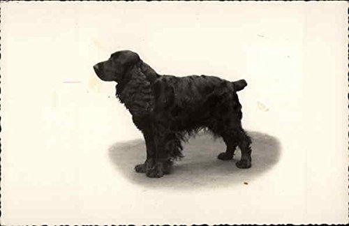 Portrait of a Cocker Spaniel Dogs Original Vintage Postcard